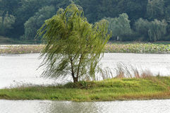 Willow in the wind. In spring Royalty Free Stock Image