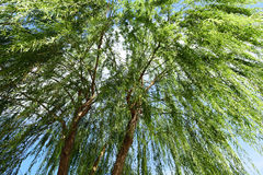 Willow. A willow in the wind Stock Images
