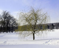 Willow in winter. Royalty Free Stock Image