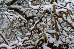 Willow in the winter. The picture shows a willow in the winter royalty free stock photo