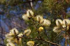 Willow. Yellow flowering willow branch springtime Stock Photos