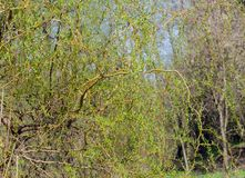 Willow with young tender green leaves. Warm spring day, close-up royalty free stock photo