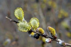 willow zakwitnąć Zdjęcie Stock