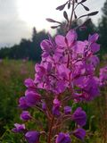Willowherb Fotografia Stock Libera da Diritti
