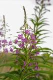 Willowherb de adelfa, angustifolium de Chamaenerion Imagen de archivo libre de regalías