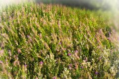 Willowherb de laurier-rose en Angleterre photographie stock libre de droits
