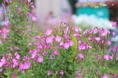 Willowherb de oleandro Fotografia de Stock Royalty Free