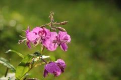Willowherb de oleandro cor-de-rosa Fotos de Stock