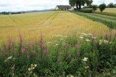 Willowherb de oleandro de florescência no campo em Stirling no verão Fotos de Stock