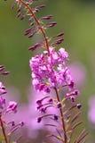 Willowherb de oleandro um wildflower cor-de-rosa que flowereing Fotografia de Stock