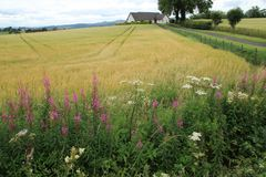 Willowherb di oleandro di fioritura alla campagna a Stirling di estate fotografie stock