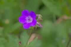 Willowherb en el área Eifel de la naturaleza Foto de archivo libre de regalías