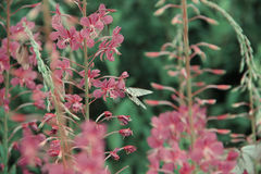Willowherb - epilobium angustifolium Sally del Fireweed Fireweed alpino viola Fotografie Stock