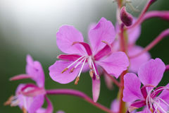 Willowherb flowers Stock Images