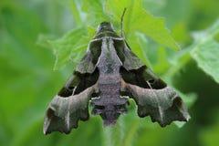 Willowherb Hawkmoth (Proserpinus proserpina) Stock Photography