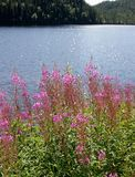 Willowherb by a lake Stock Photo