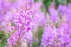 Willowherb na haliźnie Zdjęcia Stock