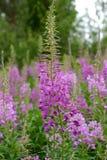 Willowherb Rosebay Fireweed, angustifolium кипрея Стоковая Фотография RF