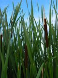 Willows. This photo was taken at Reeds Lake in Grand Rapids Michigan royalty free stock photos