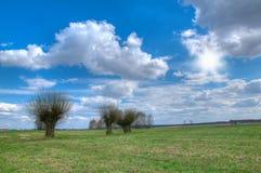 Willows. Three willows in spring fields. Poland stock photo