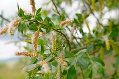 Willows blooms. Fluff on the willow. Summer allergy stock image