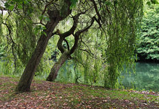 Free Willows By The RiverThames In England Royalty Free Stock Image - 20774966