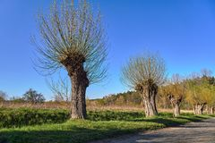 Willows by a dirt road during spring. In Poland royalty free stock image