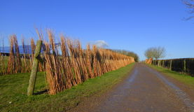 Willow canes drying in the sun. Willows drying on the Somerset Levels, England Royalty Free Stock Photos