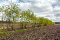 Willows in a field Stock Images