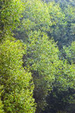 Willows in a gauze. Fresh foliage of willow trees in morning gauze Stock Image