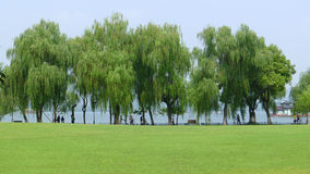 Willows with grassland in west lake Royalty Free Stock Photo