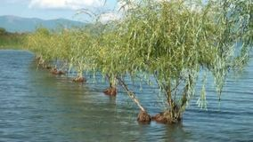 Willows in a Lake Prespa, Macedonia stock video