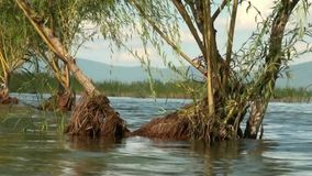 Willows in a Lake Prespa, Macedonia stock video footage