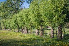 Rural landscape in Poland. Willows on a meadow in Masovian Voivodeship of Poland stock photography