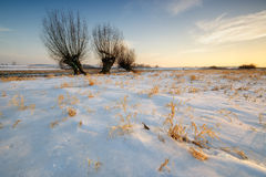 Willows in the meadow at sunset. Royalty Free Stock Image