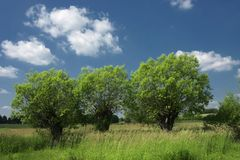 Willows on the meadow. Three willows standing calmly on the lap with the blue sky - silence and rest from civilization stock images