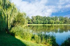 Willows near the lake at sunset. Weeping willows near the lake with bright blue sky at sunset on summer stock photos