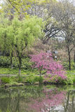 Willows and peach blossom by the lake Stock Photography