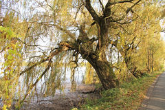 Willows at the pond in autumn Royalty Free Stock Photo