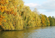 Willows at the pond in autumn Stock Photography