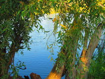 Willows at the pond Stock Photos