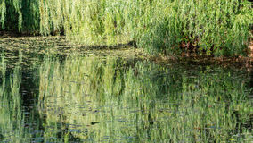 Willows reflection Stock Photo