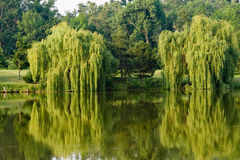 Willows and reflections Royalty Free Stock Images