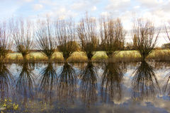Willows at the river. A shot of a bunch of willow in a beautiful autumn landscape near the river IJssel Royalty Free Stock Photo
