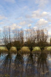 Willows at the river. A shot of a bunch of willow in a beautiful autumn landscape near the river IJssel Stock Image