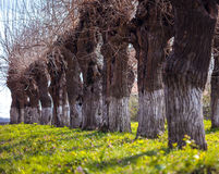 Willows in a row Royalty Free Stock Photography