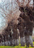 Willows in a row Royalty Free Stock Photo