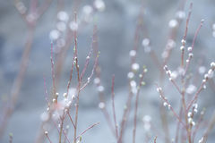 Willows in Spring Royalty Free Stock Images