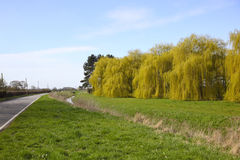 Willows in springtime Royalty Free Stock Photos