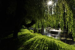 Willows Stock Photography